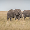 Elephants roaming the grasses of the Serengeti #2