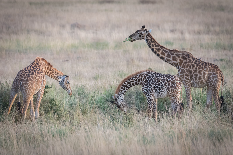 """A """"tower"""" of giraffes in the Serengeti"""