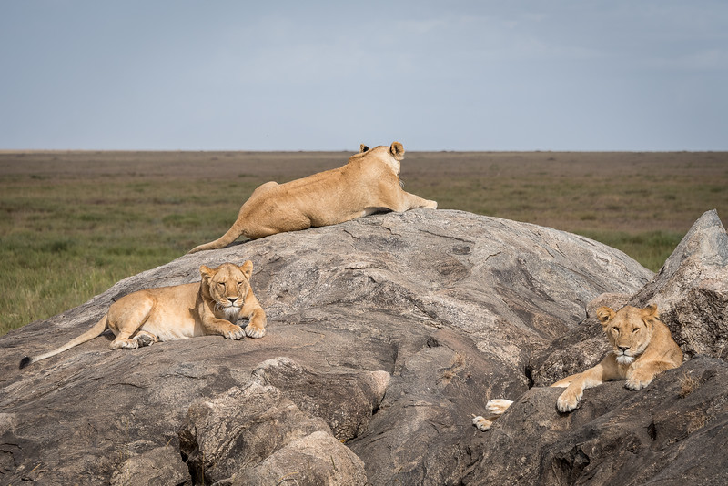 "Lion pride resting on the rocks of one of the 'kopjes"" - rocky outcroppings"