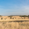 Serengeti grasses and acacias