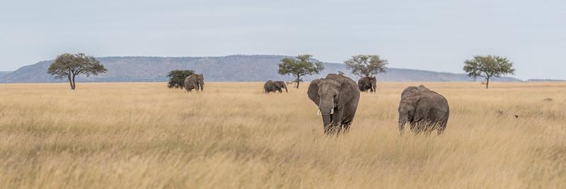 Elephants roaming the grasses of the Serengeti #1