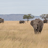 Elephants roaming the grasses of the Serengeti #1
