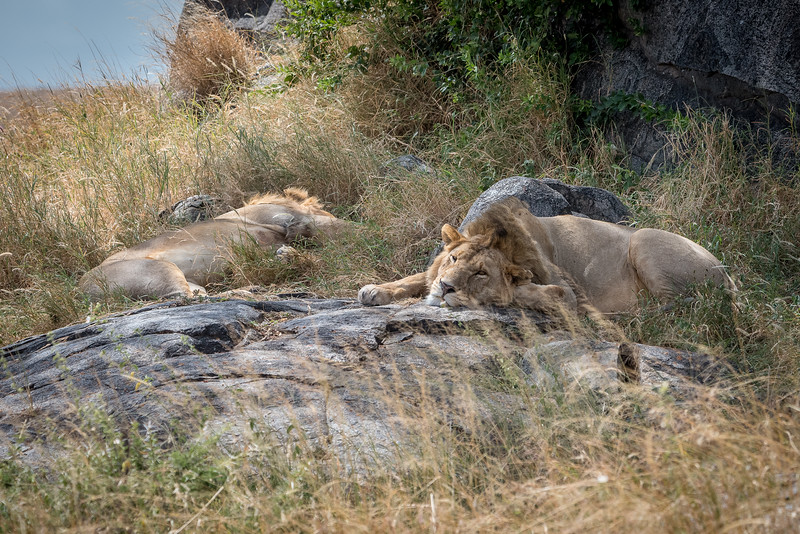 Male lions resting in the shade of the kopjes