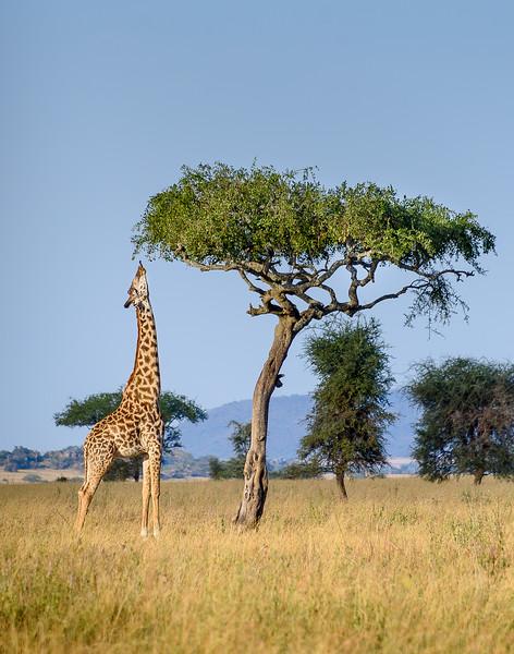 A last look at a giraffe nibbling at an acacia in the Serengeti