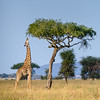 A last look at a giraffe nibbling at an acacia in the Serengeti