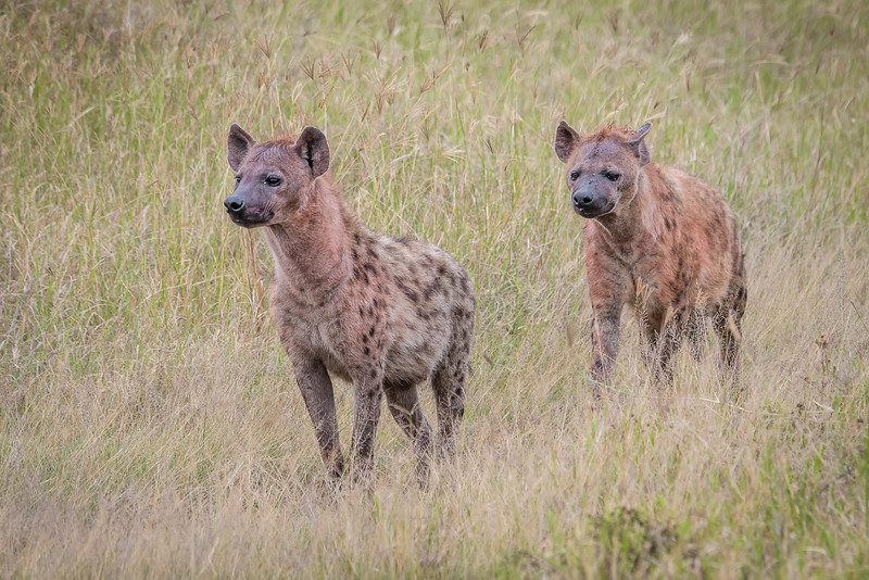 Spotted hyenas picking up the scent