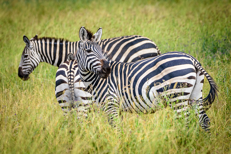 A few of the numerous zebras in Tarangire