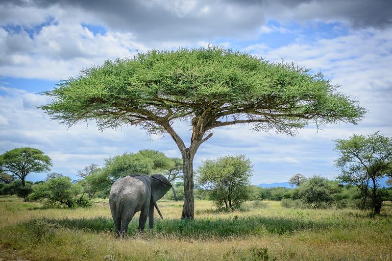 Elephant under an umbrella acacia