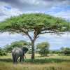 Elephant under an umbrella acacia