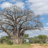 A magnificent baobab tree