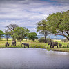 Elephants at a watering hole, amid the baobabs and acacias