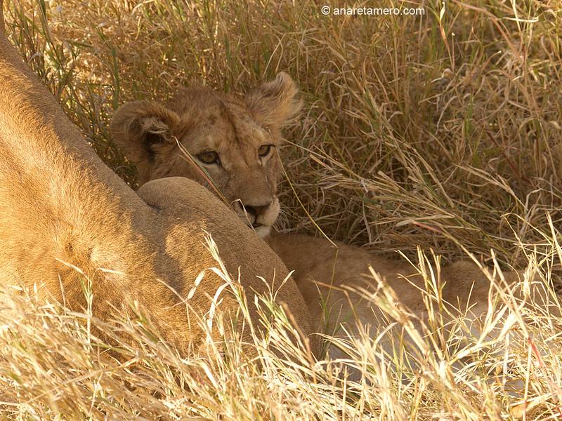 Leoncillo con su madre ( Panthera leo)/ African lion