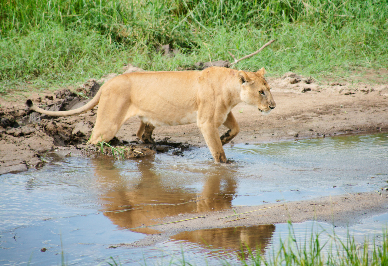 Lioness Crossing Stream