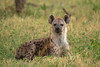 Hiena manchada en reposo (Crocuta crocuta)/ Spotted hyena