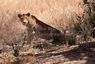 lioness-fRN