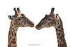 Jirafas (Giraffa camelopardalis)/ giraffes