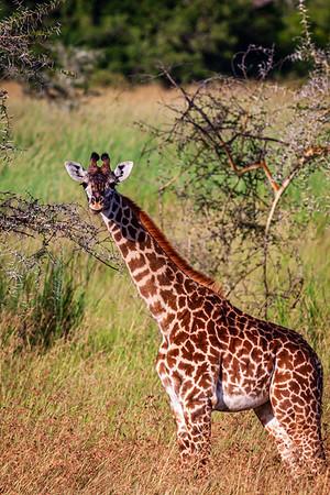 Giraffe, Tanzania (2008)