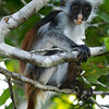 A Zanzibar Red Colobus in the Trees
