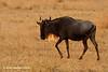 Ñu (Connochaetes taurinus)/ Blue wildebeest