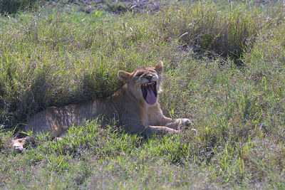 lion yawn....