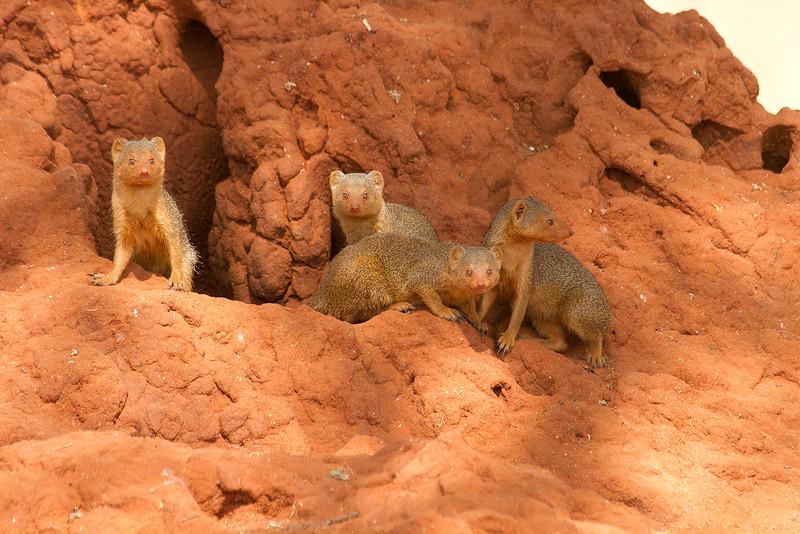 Grupo de mangostas enanas en un termitero