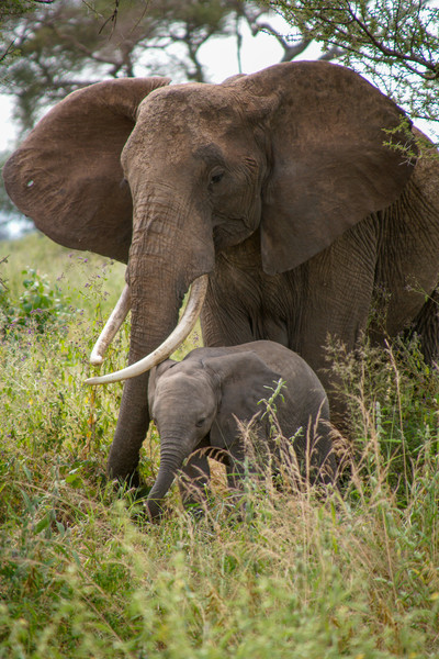 Elephant and Baby, Tarangire National Park