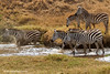 Cebras cruzando un arroyo
