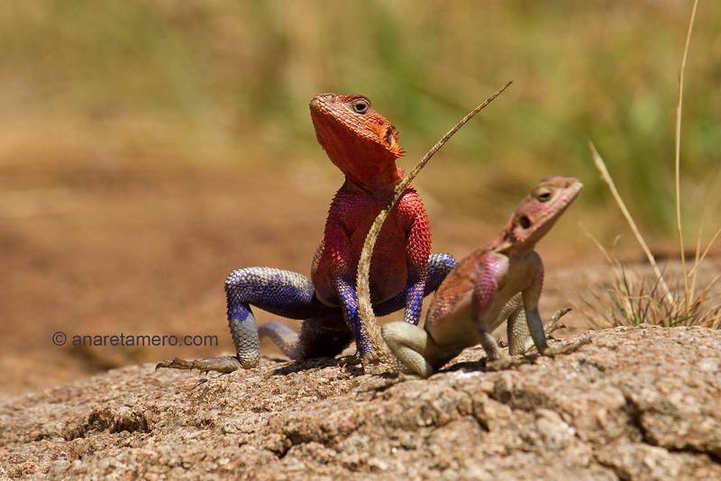 Macho y hembra de agama (Agama agama)/ redheaded rock agama male and female