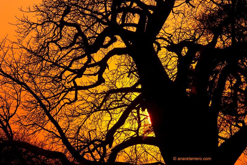 Baobab al atardecer ( Adansonia digitata)/ Baobab tree