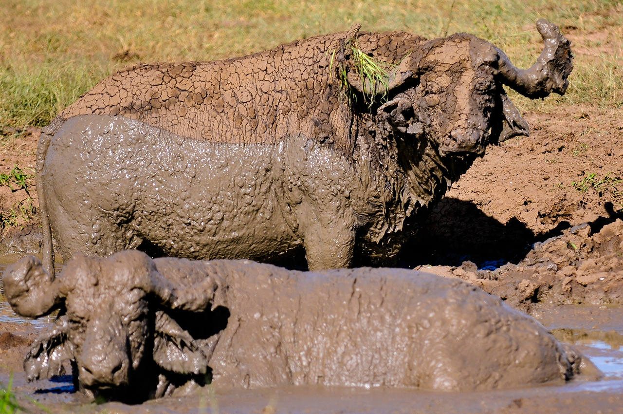 A Pair of Water Buffalo in the Mud in Mikumi National Park, Tanzania.