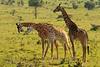 Machos de jirafa haciendo cuello.