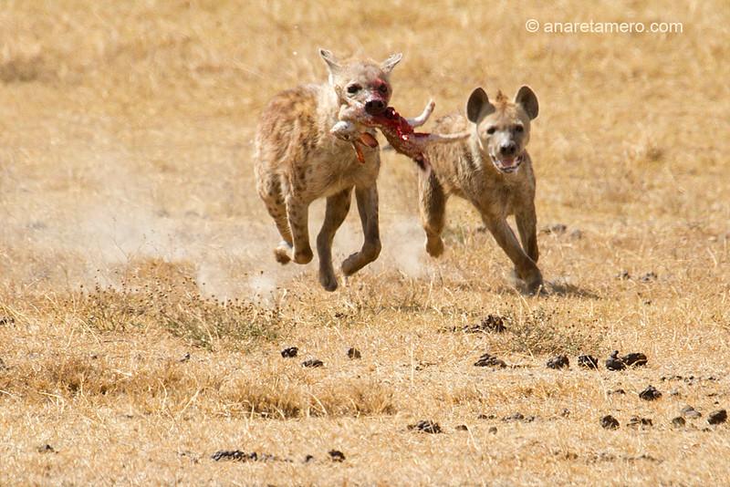 Persecución de hienas (Crocuta crocuta)/ Spotted hyena