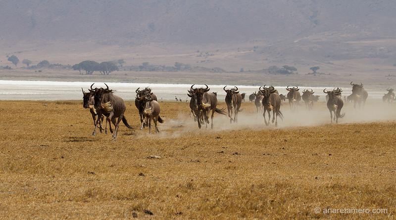 Estampida de ñus (Connochaetes taurinus)/ Blue wildebeest