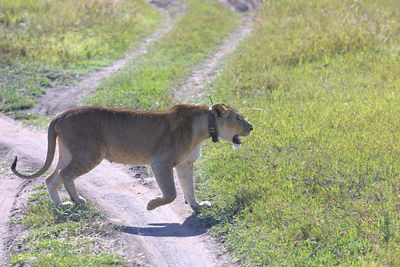 radio collared lion crossing the rover tracks