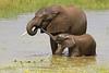 Elefantes de sabana bañándose (Loxodonta africana)/ African bush elephant