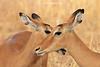 Cuchicheando (hembras de impala) (Aepyceros melampus)