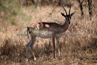 antelope 2-fRN