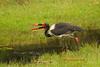 Jaribú africano pescando (Ephippiorhynchus senegalensis)/ Saddle-billed stork