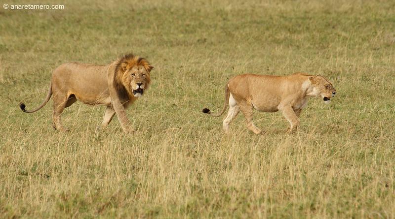 León y leona (Panthera leo)/ African lion