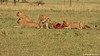 Jóvenes leones  (Panthera leo)/ African lion
