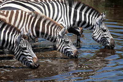 zebra drinkingRN