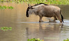 Ñu saliendo del agua (Connochaetes taurinus)/ Blue wildebeest
