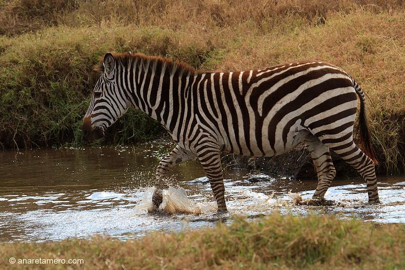 Cebra cruzando un arroyo