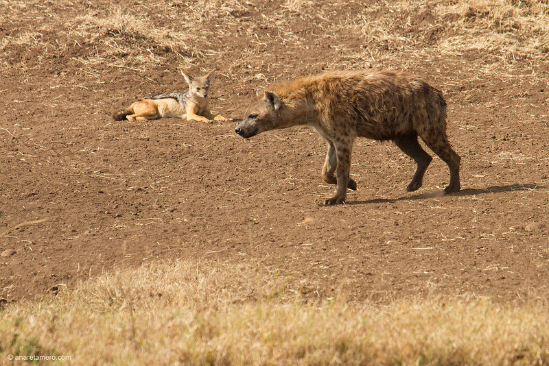 Hiena manchada y chacal de lomo plateado