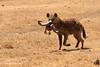 Hiena manchada con cabeza de ñu