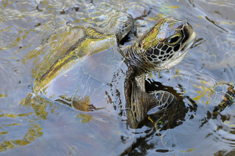 Green Turtle in the water, Jozani - Chwaka National Park, Zanzibar, Tanzania.