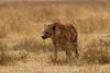 Hiena manchada (Crocuta crocuta)/ Spotted hyena
