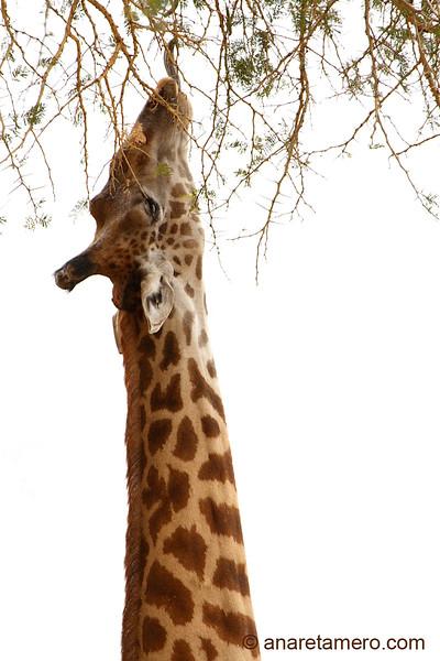 Jirafa comiendo hojas de acacia