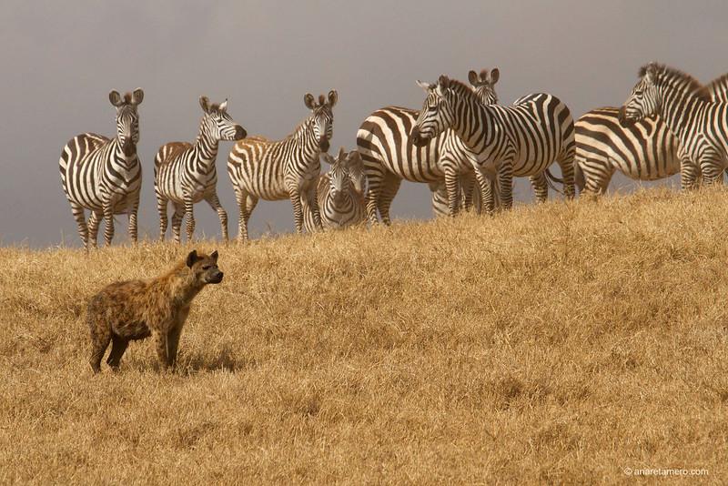 Hiena manchada y grupo de cebras