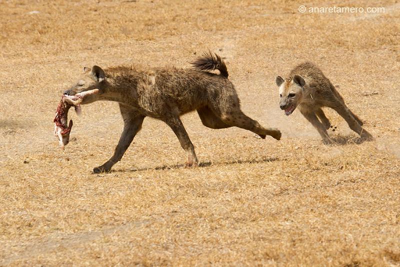 Persecución de hienas